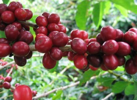 Kaldi's Story – The Discovery of Coffee