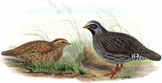 5-rare-birds-himalayan-quail