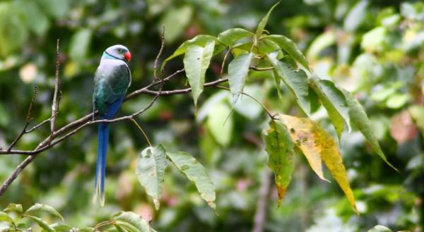 5-rare-birds-Malabar Parakeet1