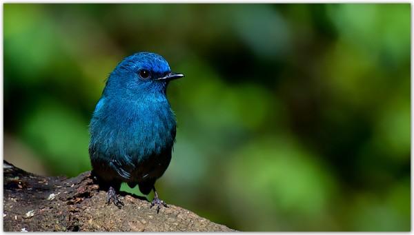 5-rare-birds-Nilgiri Flycatcher