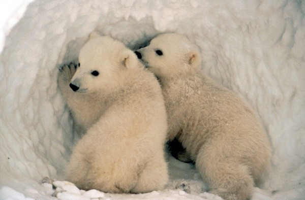 6-differences-between-the-arctic-and-antarctic-regions-polar-bear-fauna
