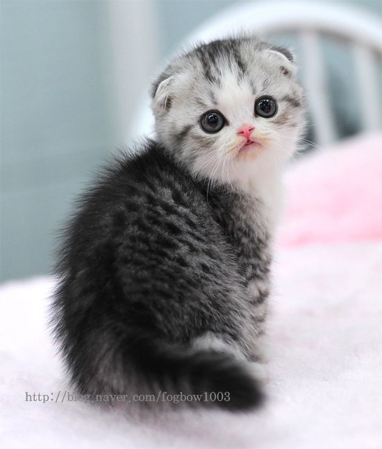 expensive-cat-scottish-fold