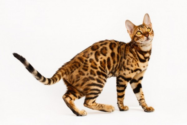 expensive-cat-bengal
