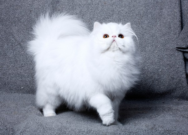 expensive-cat-persian