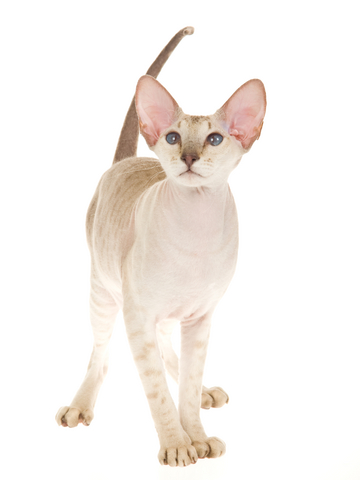 expensive-cat-peterbald